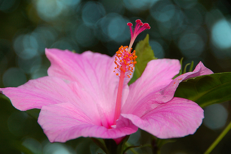 Hibiscus bloom. Photo taken in evening light. Sunlight dancing on oak leaves in the background produced an interesting effect.