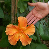 A double Hibiscus in our back yard. Sandy placed her hand beside it to provide perspective of the size of the bloom.