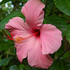 The Seminole Pink Hibiscus in our back yard are really prolific this year.