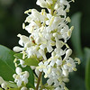 Wax-leafed Ligustrum in our yard is starting to bloom and the honey bees are happy.