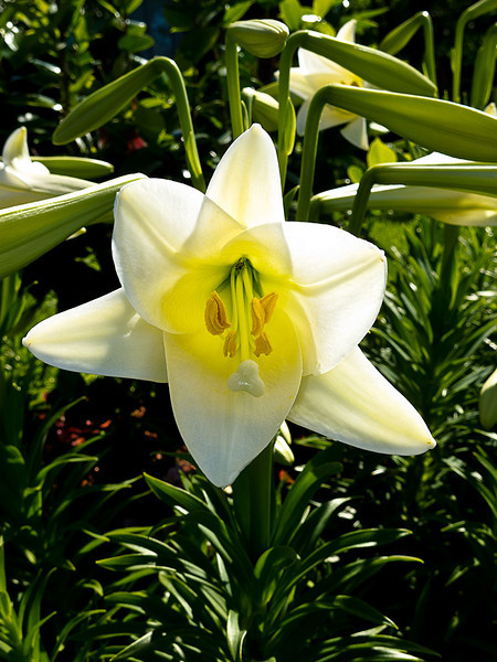 Easter Lilies and other flowers at Ski Side