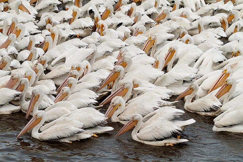 White pelicans at LSU lakes