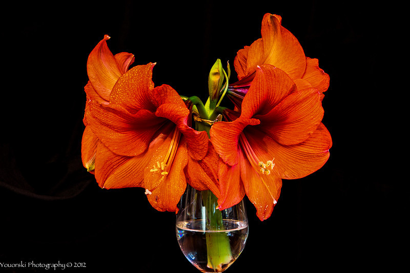 My amaryllis from the grocery store was stunning. As I was taking pics of it a little tap broke the main stalk. I thought I was going to cry. Instead I put i in a wine glass and continued shooting in the pJ Productions studio.