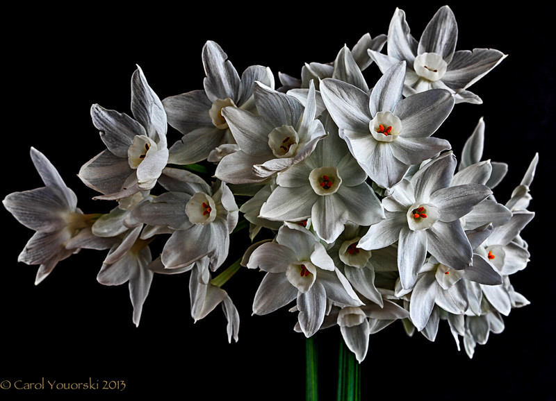 Paper Whites from the yard in January picked just before winter returned.