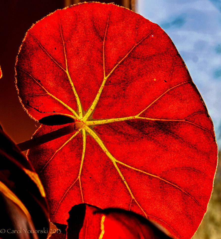 Beefsteak Begonia leaf back lit by morning sun.