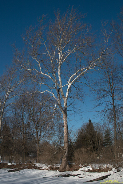 """""""White Tree, Blue Sky"""" - Sam liked this tree and I liked the contrast between the white/gray tree and the deep blue sky."""