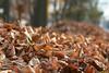 Maple City Leaf Pile 2