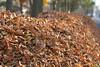 Maple City Leaf Pile 1