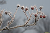 Photo of frozen fog clinging to a tree branch and some berries at the Rieth Interpretive Center in Goshen, IN.