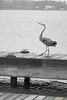 Lake Conroe Heron<br /> This is likely a great blue heron. Taken on a pier on Lake Conroe in Texas. It was a dreary, rainy day and the color was very flat so I converted this to a black & white photo. Looks much better this way.