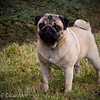 Female Pug Dog Champion