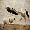 Headless Pelican??