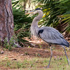 Takin' a walk!<br /> Blue Heron<br /> Venice Rookery in FL