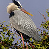 "Great Blue Heron<br /> ""I Feel Pretty, Oh So Pretty"""