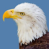 The proud and the free....<br /> American Bald Eagle