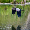Great Bue Heron Flaps Down