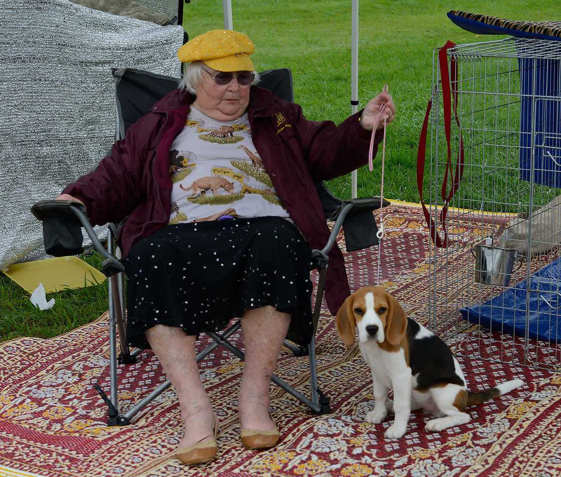 A lady is showing off her beagle on a mat ata dog show.