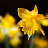 February 26, 2012 - Daffodils