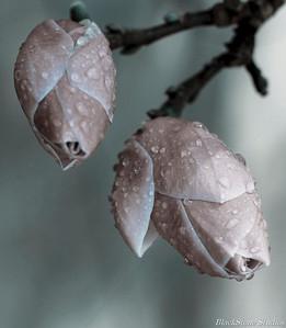 blossoms redux