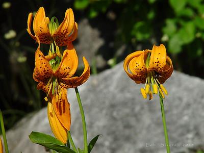 Lilium pardalinum ssp. wigginsii, Wiggins' Lily Marble Mountain Wilderness, Siskiyou Co., CA,  2002/08/13