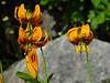 <em>Lilium pardalinum ssp. wigginsii</em>, Wiggins' Lily Marble Mountain Wilderness, Siskiyou Co., CA,  2002/08/13