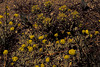 <em>Castilleja nana</em>, Alpine Paintbrush, native.  <em>Orobanchaceae</em> (Broomrape family  {Ex <em>Scrophulariaceae</em>}). <em>Eriogonum ovalifolium var. ovalifolium</em>, Cushion Buckwheat, native.  <em>Polygonaceae</em> (Buckwheat family). PCT, Granite Chief, Tahoe National Forest, Placer Co., CA 6/2094