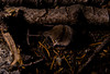 Trowbridge's Shrew, <em>Sorex trowbridgii</em>. PCT along Whisky Creek, Tahoe National Forest, Placer Co., CA  6/20/94