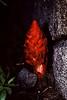 <em>Sarcodes sanguinea</em>, Snow Plant, native.  <em>Ericaceae</em> (Heath family). PCT nr. Whisky Creek, Tahoe National Forest, Placer Co., CA 6/20/94