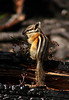 Yellow Pine Chipmunk, <em>Neotamias amoenus</em>. Harts Pass, North Cascades, WA  8/24/06