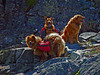 """Cinnamon (mom, 6yrs.), Sandbag, and Muffin (daughters, 1yr.), our good-natured guides over hundreds of miles.  (Thousands, now.) Marble Mountain Wilderness, Siskiyou Co., CA  8/12/02 To see a few more pictures of the girls click <a href=""""http://bobsikora.smugmug.com/Photography/the-girls/1022845_rsJmT#47419187_7sQcf"""">here</a>."""