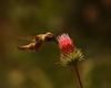 Allen's Hummer <em>Cirsium andersonii</em>, Rose Thistle, native.  <em>Asteraceae</em> (= <em>Compositae</em>, Sunflower family). Barker Pass, Tahoe National Forest, Placer Co., CA 8/19/93
