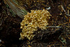 Coral Fungus, <em>Ramaria magnipes</em>? PCT, Deschutes National Forest, Lane Co., OR 8/11/03