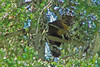Pine or American Marten, <em>Martes americana</em> Deschutes National Forest, PCT above Waldo Lake, Lane Co., OR 8/11/03 Sorry the Marten pics. are so bad.  I do have others, but they are worse.  bs