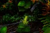 The coastal forests of Oregon contain many gems, like this Northern Pacific Tree Frog.<br /> Photo © Cindy Clark