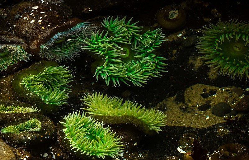 A rock star in even in the giant  green anemones' world!<br /> Photo © Cindy Clark