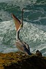A brown pelican stretches on the rocks at Devil's Punchbowl, Oregon.<br /> Photo © Carl Clark