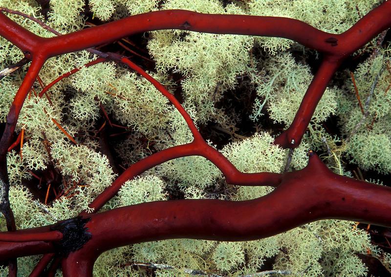 Red Manzanita branches against white reindeer lichen - Dellenbach Beach, Oregon.<br /> Photo © Cindy Clark