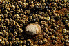 Alone among strangers.  A limpet manages space with barnacles and snails at Cape Arago, Oregon.<br /> Photo © Carl Clark