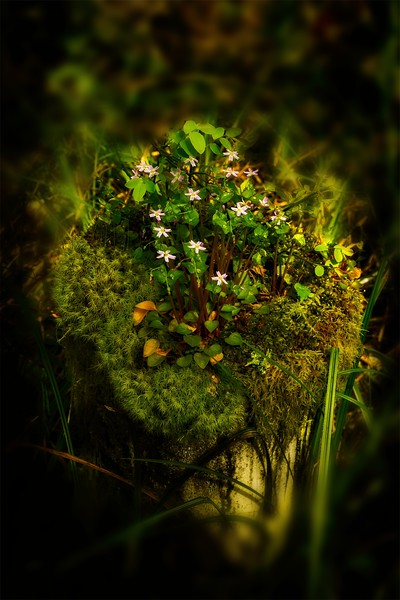 A tiny garden grows on an alder tree stump, near the coast in Oregon.<br /> Photo © Cindy Clark