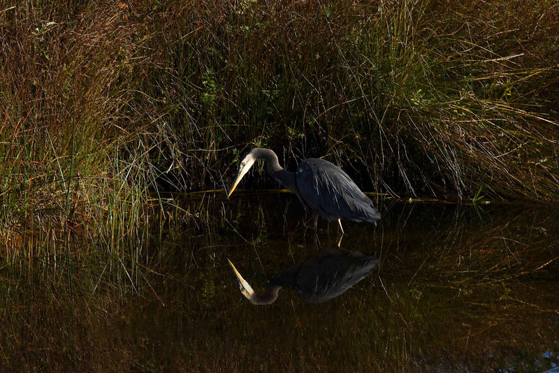 Blue Heron stalks his breakfast - Ona Beach, Oregon.<br /> Photo © Cindy Clark