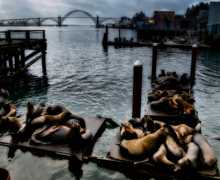 Sea lions lounge off the docks in Newport, Oregon.<br /> Photo © Cindy Clark