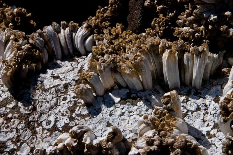 Barnacle colony at Neptune Beach - Oregon Coast.<br /> Photo © Carl Clark