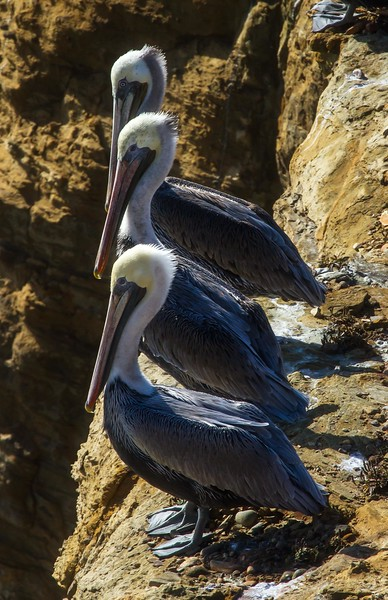 Brown pelicans near Devil's Punchbowl on the Oregon coast.<br /> Photo © Cindy Clark