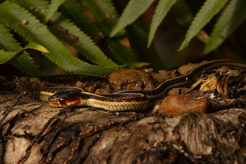 He looks big but this little garter snake was less than a foot long. Here he's resting on the Sweet Creek Trail in central Oregon.<br /> Photo © Carl Clark