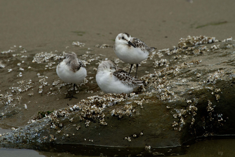Semipalmated sandpipers taking a brief rest on Ona Beach, Oregon.<br /> Photo © Carl Clark
