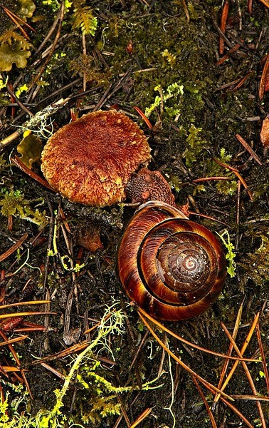 Nature in the raw! A Pacific sideband snail attacks a defenseless mushroom on the John Dellenback trail on the Oregon Coast.<br /> Photo © Carl Clark