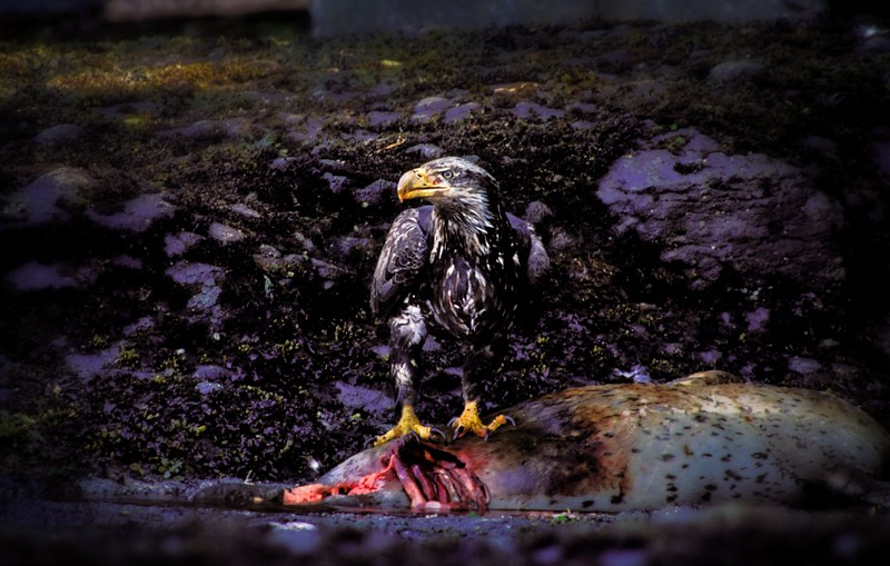 Easily the most gruesome photo I've ever taken. A young bald eagle with a seal on the Washington coast. The parents were in a tree directly above.<br /> Photo © Cindy Clark