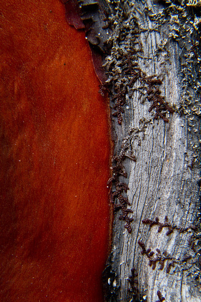 Manzanita bark.  John Dellenback Dunes, Oregon.<br /> Photo © Carl Clark