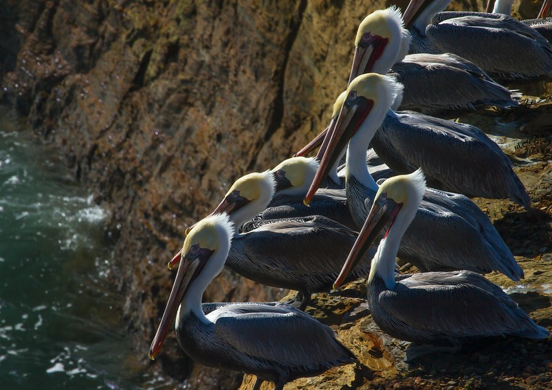 What do they call a group of pelicans? A scoop!<br /> Photo © Cindy Clark