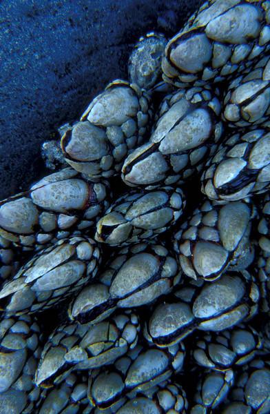 Goose barnacles at low tide - Oceanside, Oregon.<br /> Photo © Cindy Clark